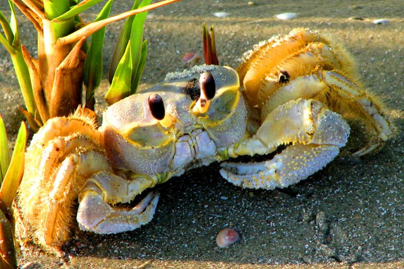 ghost crab... we share the shoreline with highly interesting creatures