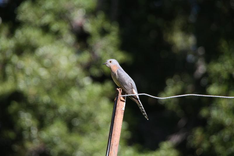 Fan tailed cuckoo patrols front yard.