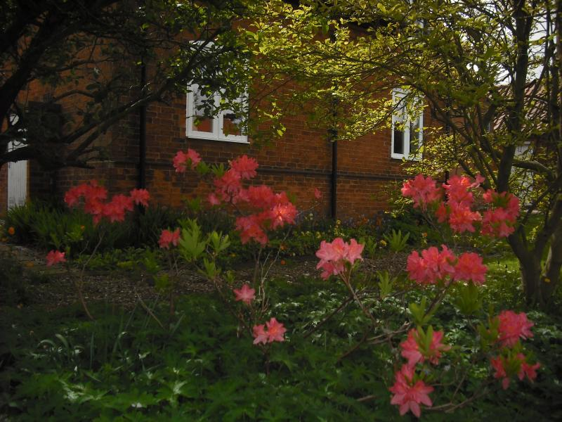 Rhododendrons in bloom in the front garden