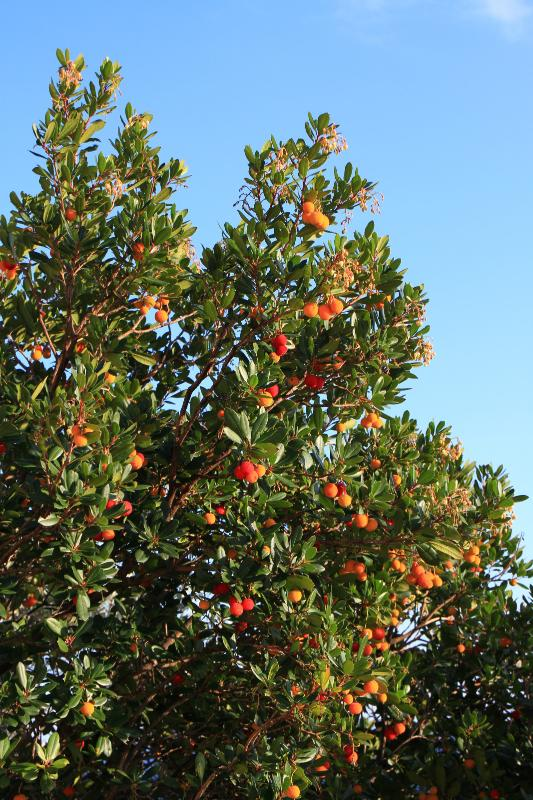 Strawberry tree in the garden, koumaria in greck