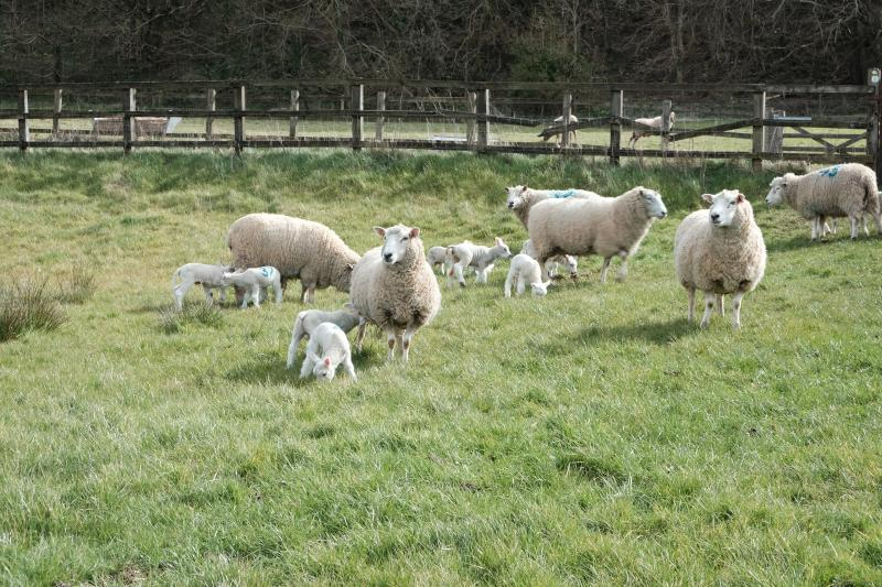 Lambs in local fields
