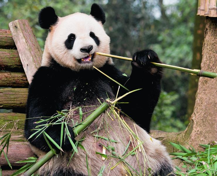 Edinburgh Zoo-Visit the only 2 giant pandas in the UK (1min walk, then #26 bus for 30mins)