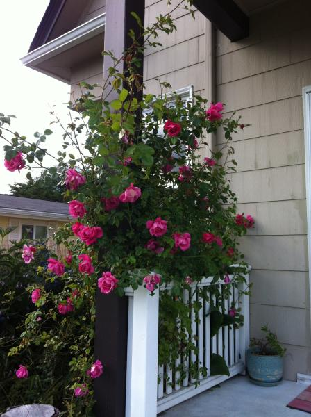 Climbing roses on front deck