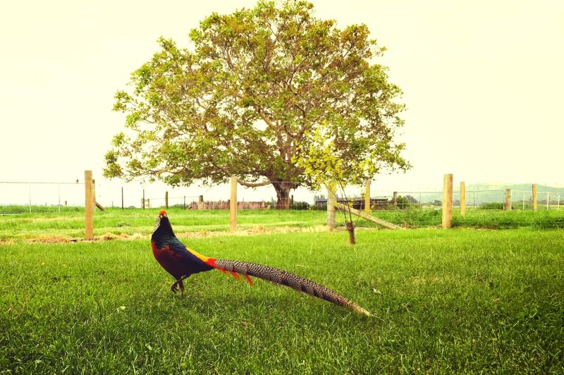The golden pheasant and the walnut tree.