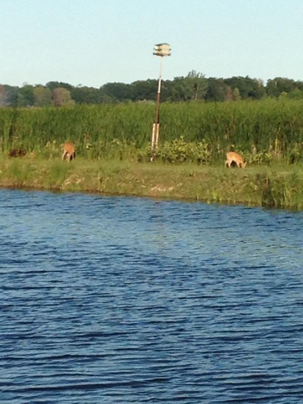 Lots of wildlife: bald eagles (often viewed), deer, cranes, loons, geese, heron, fox, and more.