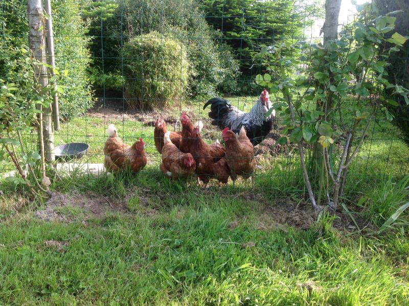 Fresh chicken eggs for breakfast