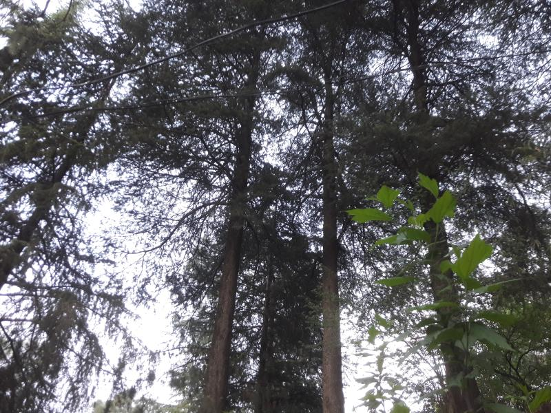 Canopy of Deodar trees in front.