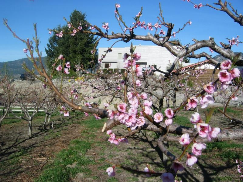 Standing at the public road looking through the peach orchard at the red front door of Villa Orion.