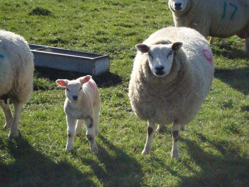Lovely Litton sheep!