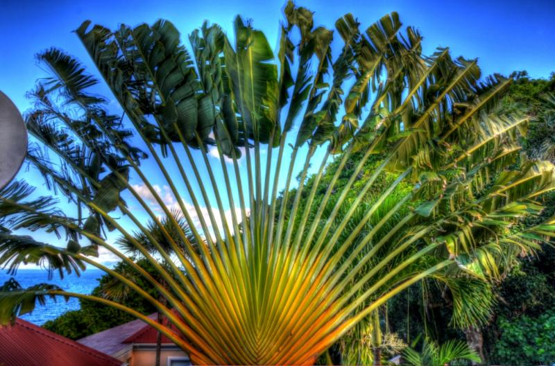 The Fan Palm Tree at the entry to the Villa