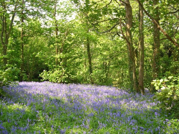The stunning bluebell wood just across the lane with its beautiful scent wafting across the garden