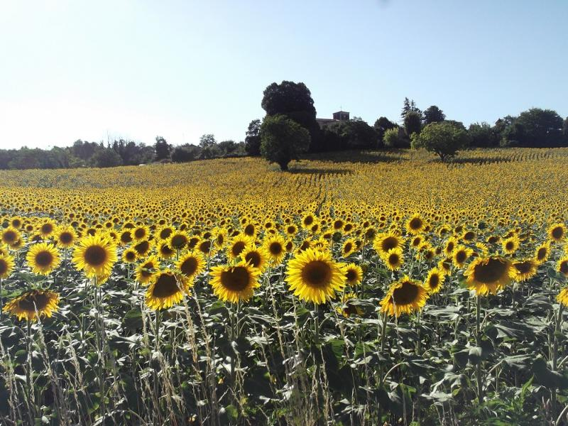 View of Brossac church beyond the sunflowers