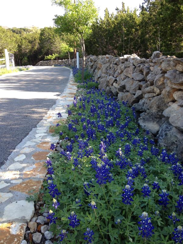 Spring Bluebonnets along private entry drive