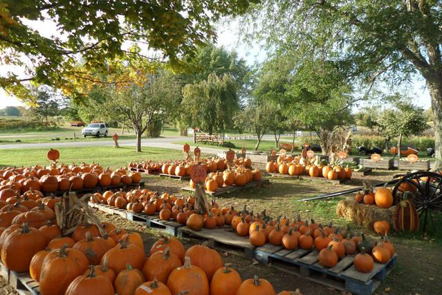 Bring the family and pick your own pumpkin.