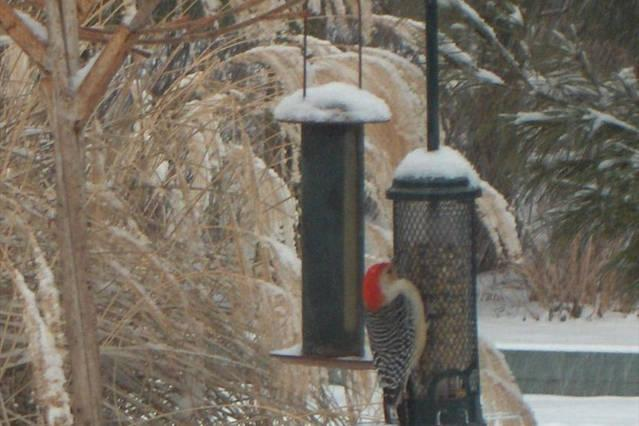 Our friends fatten up on the Shorewinds feeders.
