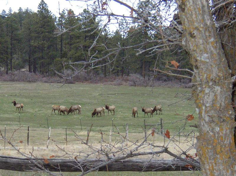 small held of elk seen from the owners back yard