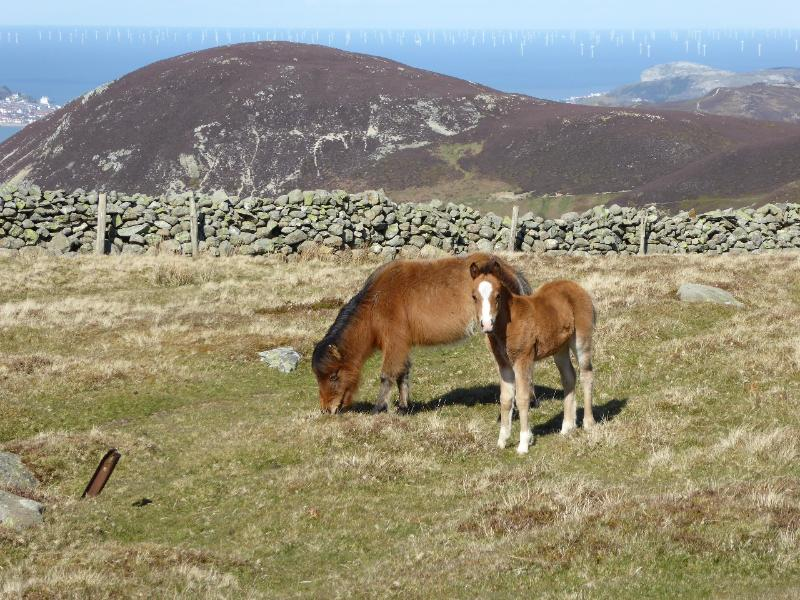 Carneddau ponies made famous by 'The Hill Farm' close to the cottage