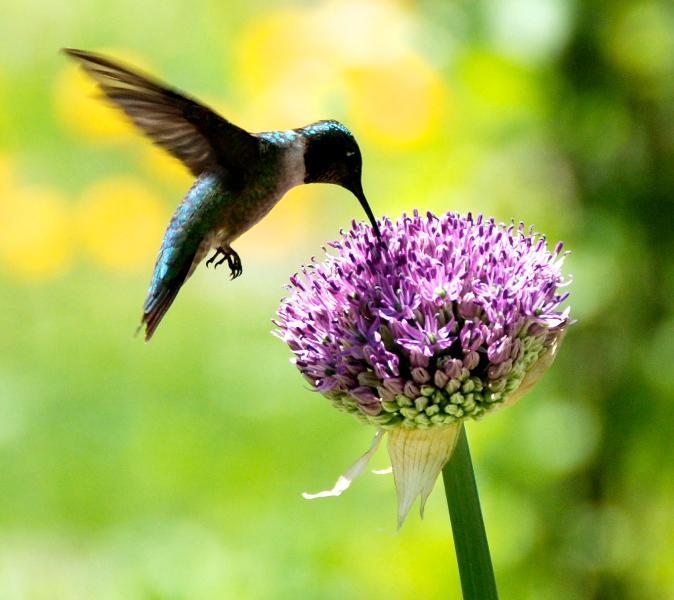 Hummingbirds in the cottage garden