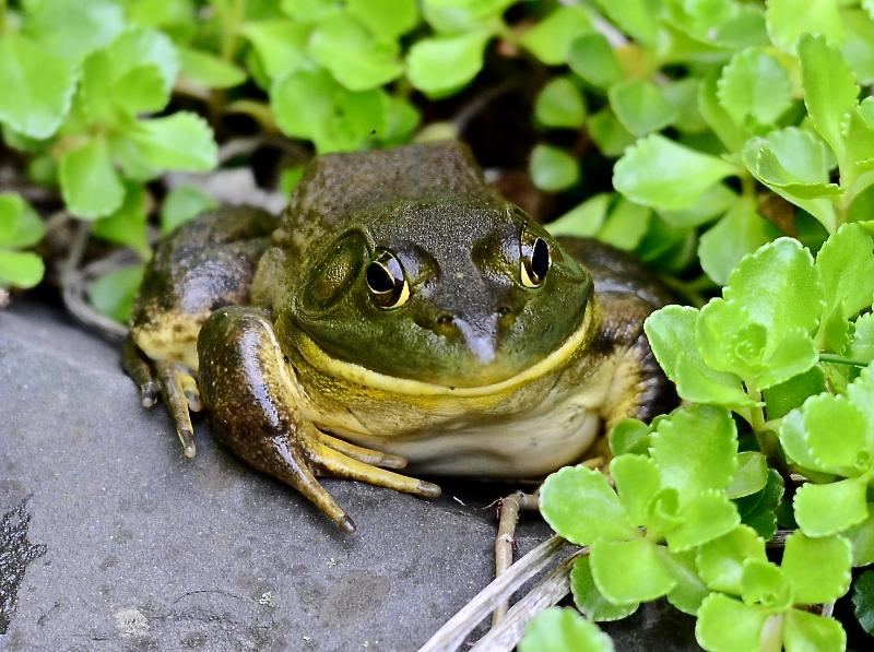 Frederick, our resident frog