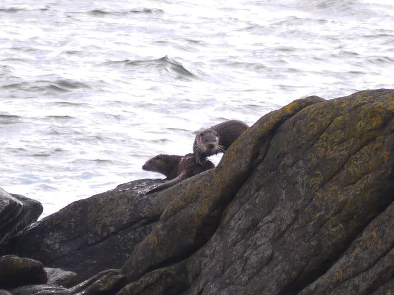 Otters at Kildonan