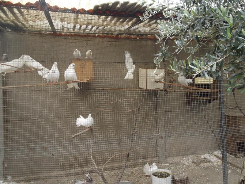Gabbiotto colombe