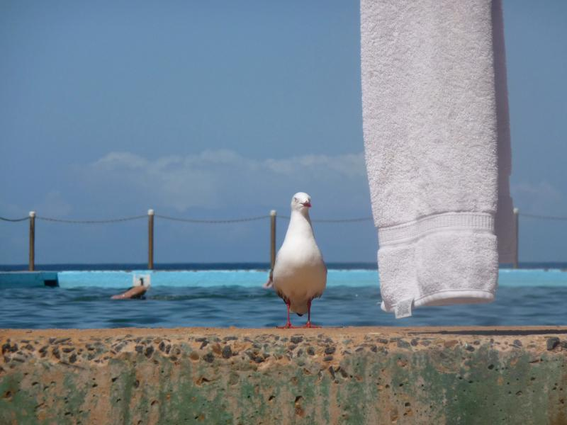 Seagull at the pool
