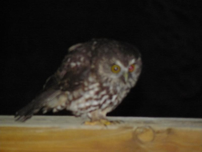 come up close with a morepork (owl) at night