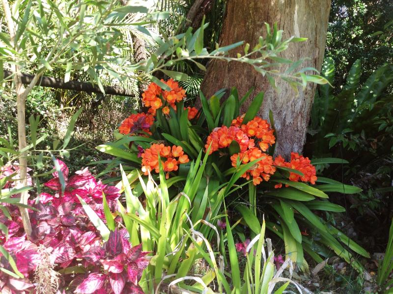 Glorious clivias in bloom just outside your back door