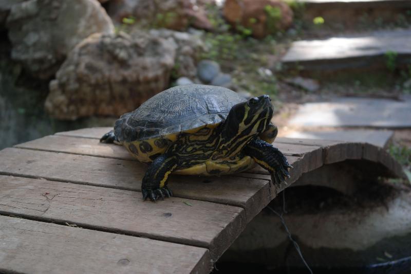 Tobias the turtle