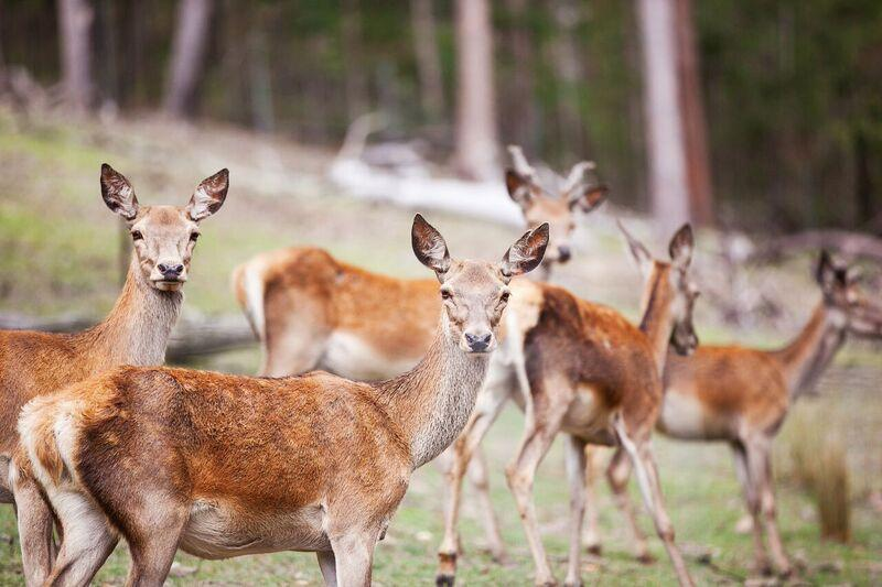 Some of the Villa Cervi Deer, which you can feed under supervision of the owners