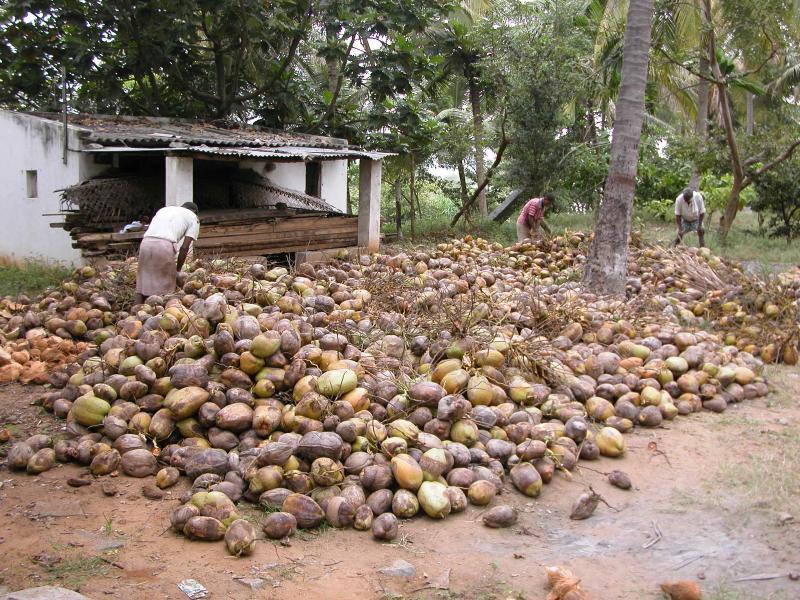 coconut de-husking following a harvest