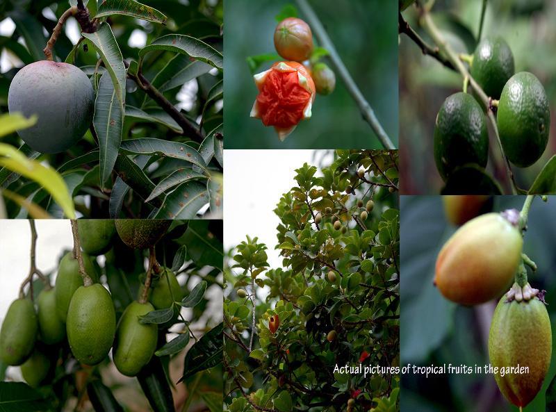 Tropical fruits in the Garden