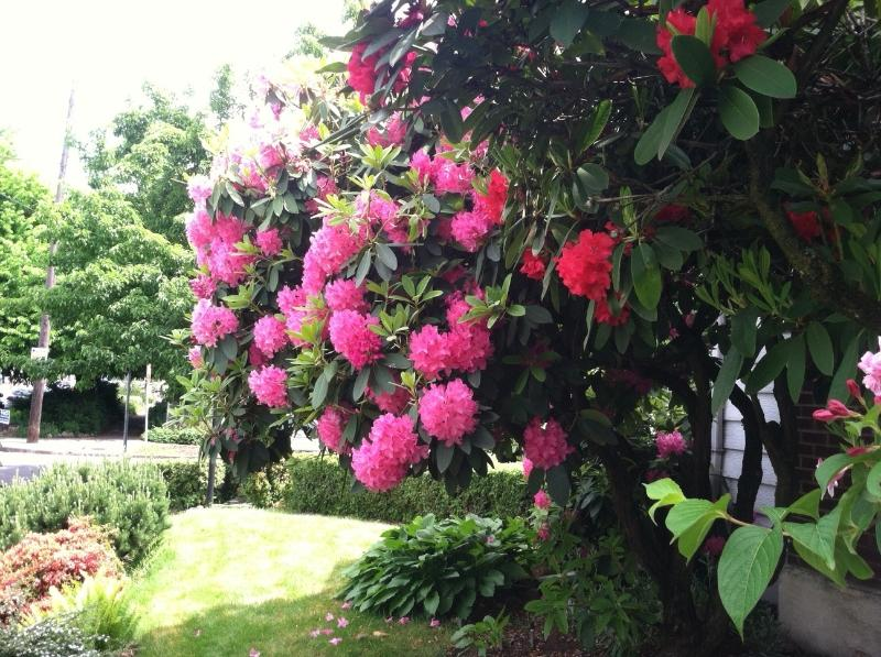 Smell the intoxicating aroma of Rhododenerons on the property!