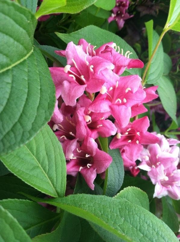 Can you name this flowering shrub?