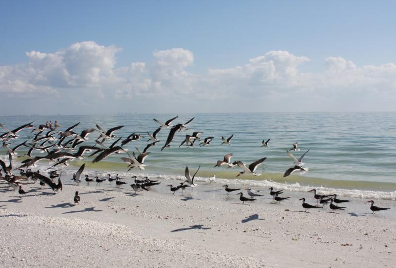 Royal Terns flocking on the beach