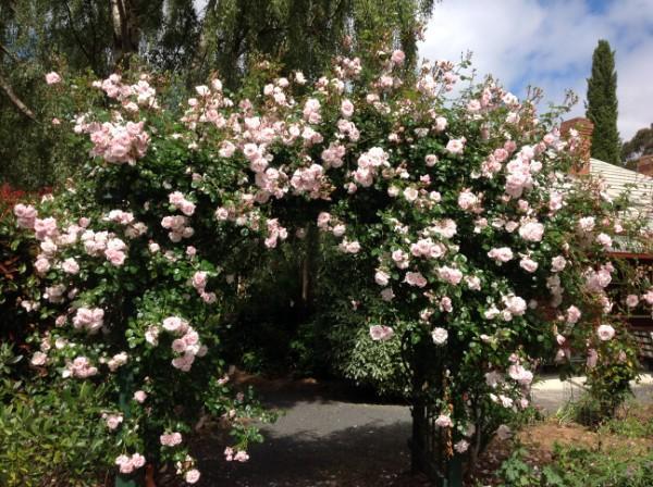 New Dawn Rose In Bloom.