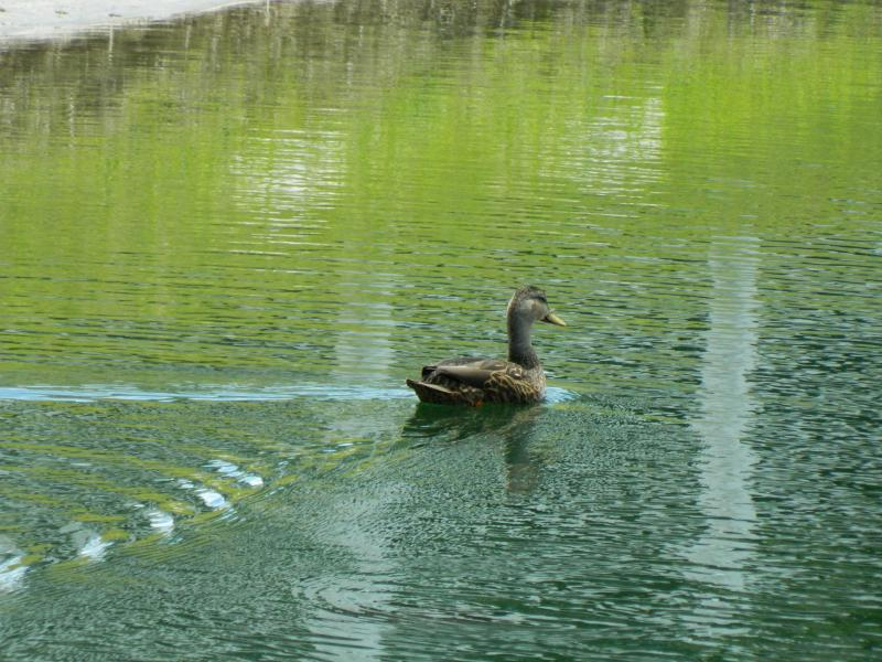 A regular visitor to our pond