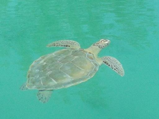 'Sparkles' the sea turtle, in the waterway.
