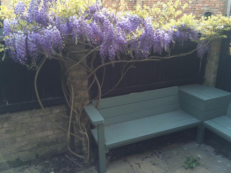 Pretty wisteria in the rear courtyard