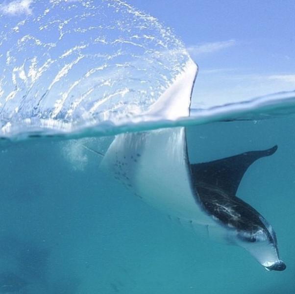 Snorkel with the Mantas