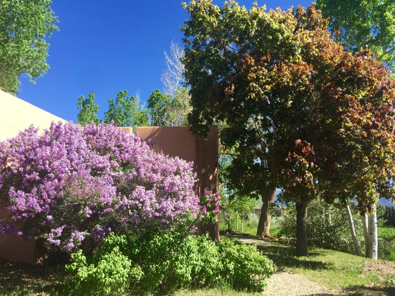 Lilacs are in full bloom in the early spring.  So fragrant.