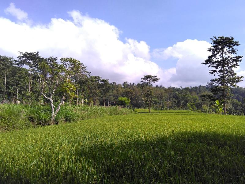 Ricefields panorama