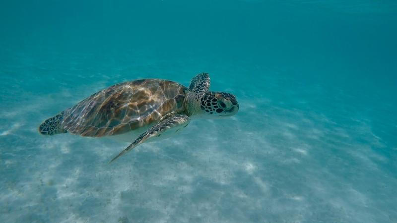 Swim with the turtles in Barbados just on the next beach to the studio apartments