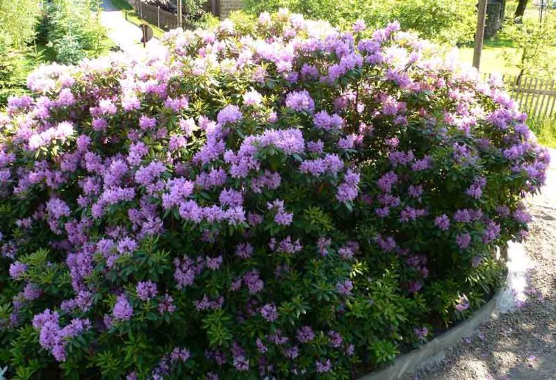 60jähriger Rhododendron