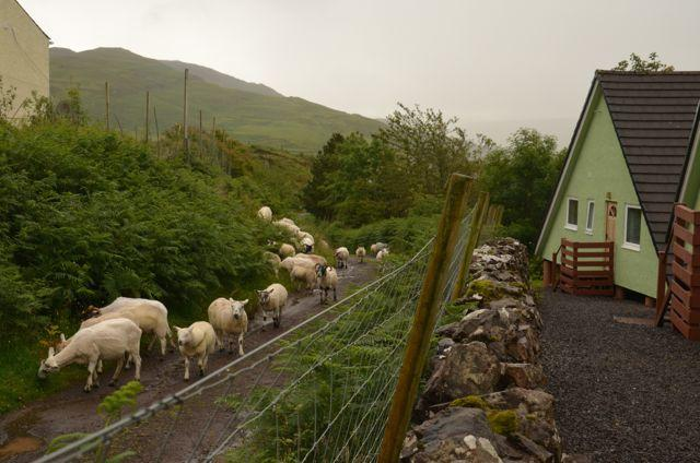 Glen Houses Mull, Chalet 10, with sheep on the track behind.