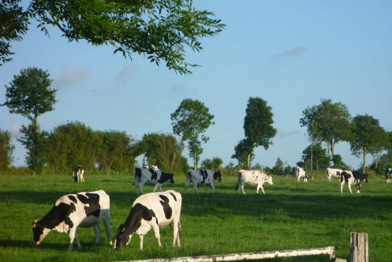 Friendly local cows in the neighbouring fields!