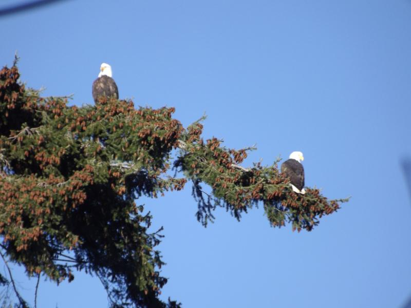 Eagles along the Royston Seaside Trail