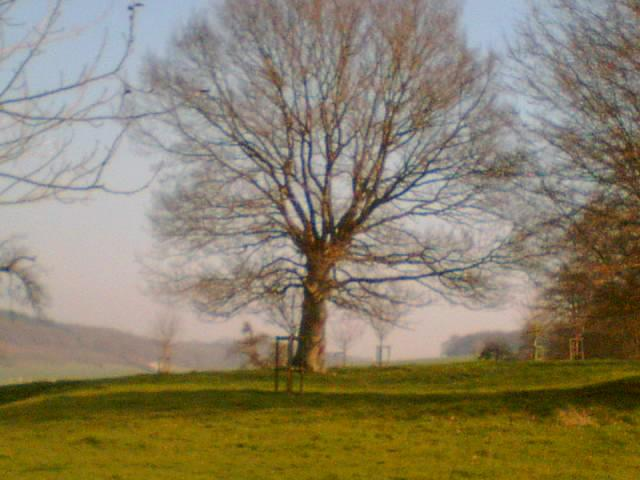 The old oak tree in the paddock
