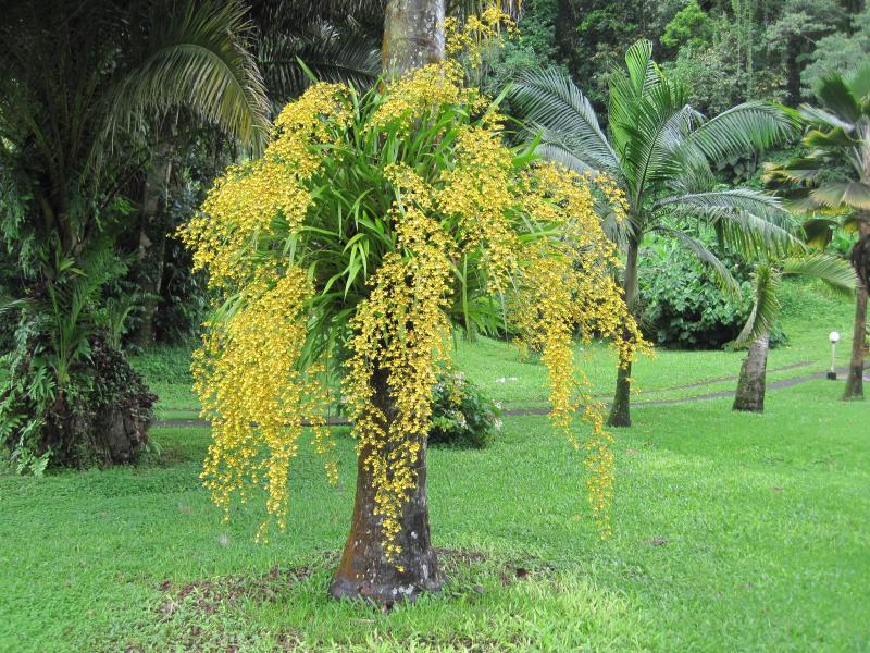 oncidium Orchidée