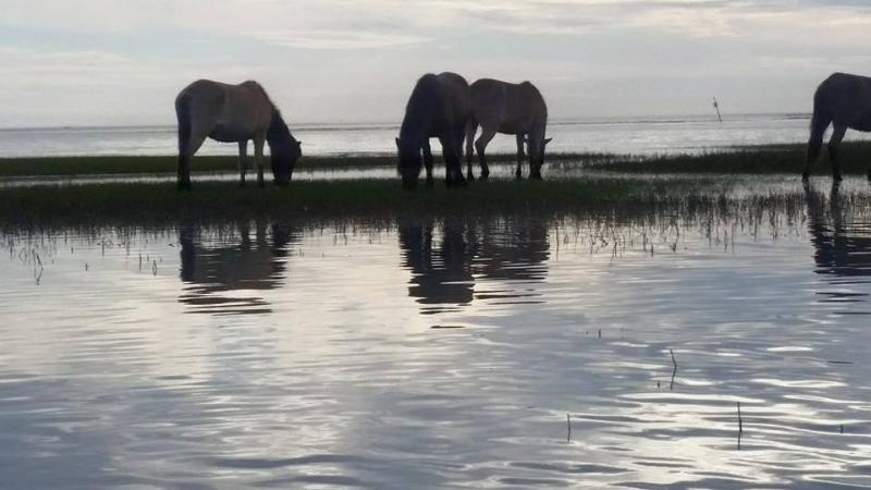 Carrot Island ponies